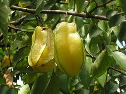 Star_fruit,_Sri_Lanka